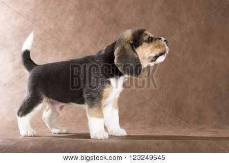 beagle puppy on brown background in studio