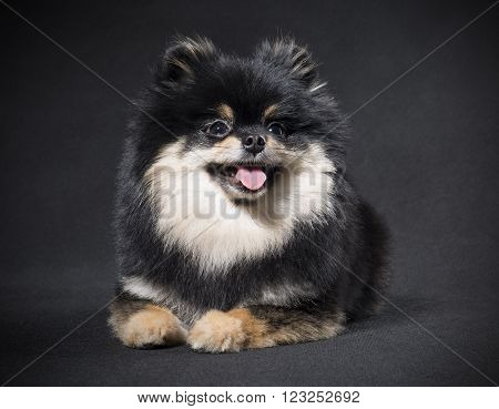 German Spitz on a black background in studio