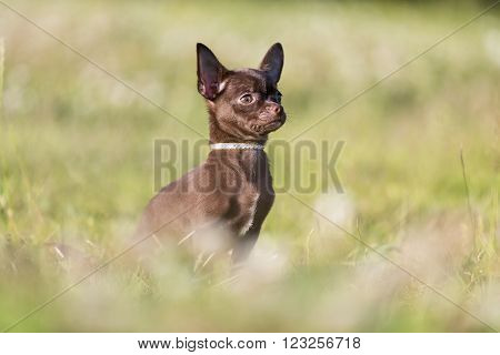 Chihuahua on the grass in the park