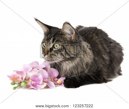 Maine Coon on a white background in studio