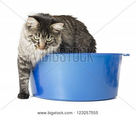 Maine Coon in a blue wash on white studio background