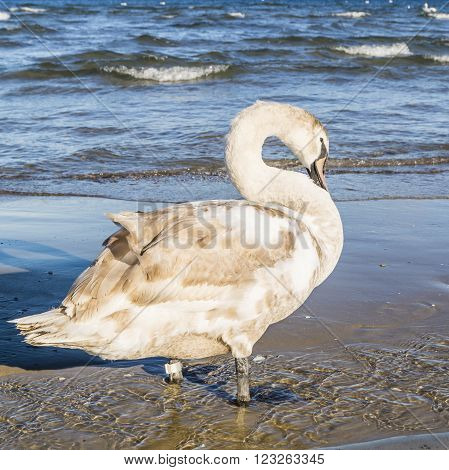 Mute Swan in the colors of juveniles.