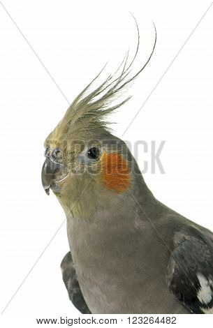 portrait of cockatiel in front of white background