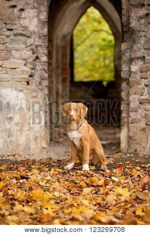 Nova Scotia duck tolling Retriever in autumn Park