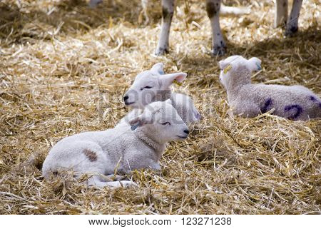 Sheffield, UK - 16 April 2014: Close up on some newborn baby lambs in the lambing sheds on 16 April at Whirlow Hall Farm, Sheffield