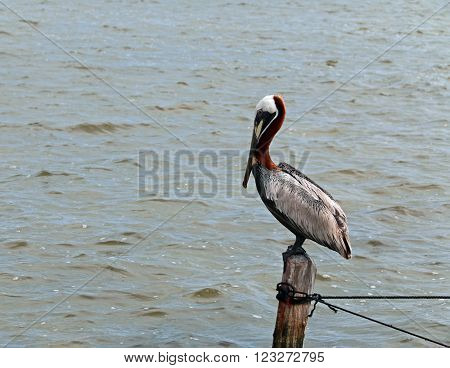 Pelican perching on boat dock wooden post on the small peninsula called Isla Blanca between Chacmuchuk Lagoon and the Caribbean near Cancun Mexico poster
