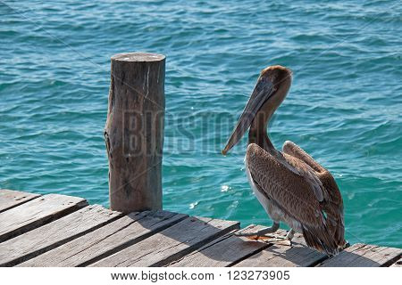 Pelican walking on wooden boat dock on the small Mexican Island called Isla Mujeres across the bay from Cancun Mexico