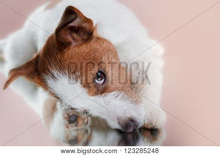 Dog Breed Jack Russell Terrier On A Studio Color Background