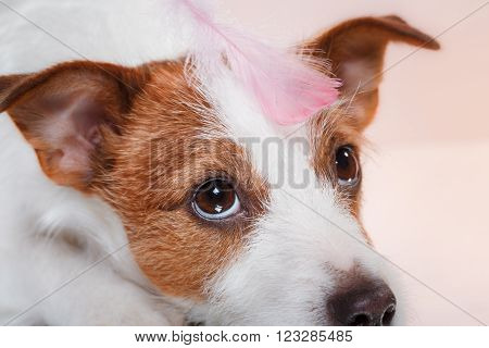 Dog Breed Jack Russell Terrier On A Studio Color Background And A Feather