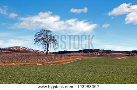 Lone Tree in Paso Robles Wine Country Vineyards in Central California USA