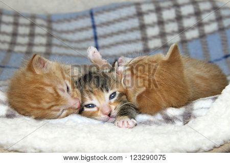 One Female Tortie Torbie Tabby Kitten Between Two Male Orange Stripped Tabbies