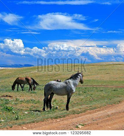 Wild Horse Grulla Stallion in the Montana Mountains USA poster