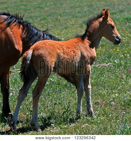 Wild Horse Mustang Buckskin Baby Colt Foal beside mother / mare in the Pryor Mountains of Montana USA
