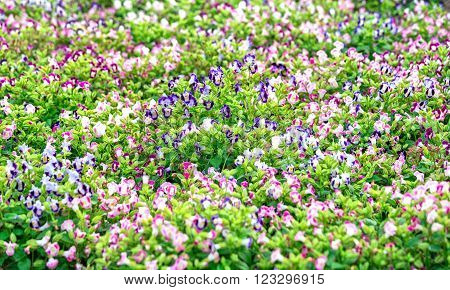 Pensee flower garden with colorful pink, purple, white intertwine in a beautiful garden and romantic