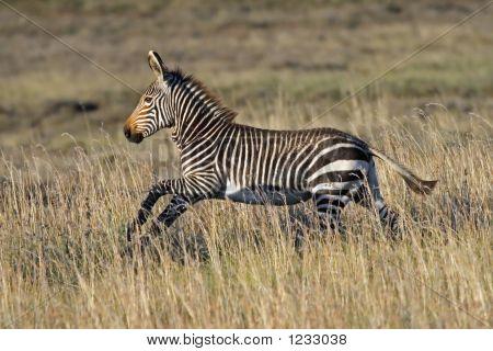 Cape Mountain Zebra Foal Running