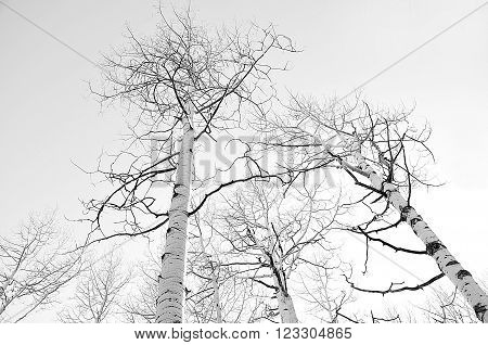 Tops of quake aspen trees against a winter sky