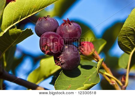 poster of Saskatoon berries contains high sources of antioxidants. The fruit is a small purple pome ripening in early summer.