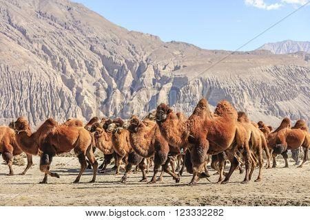 The big Camel at Nubra valley, India