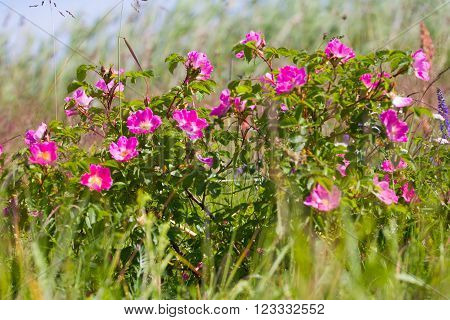 Wild Rose On Coastal Meadows. The Summer Solstice