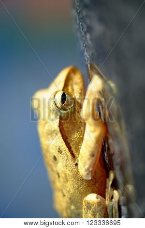 Golden Tree Frog or Yellow Frog in Thailand - Close up - Macro - (Selective focus)