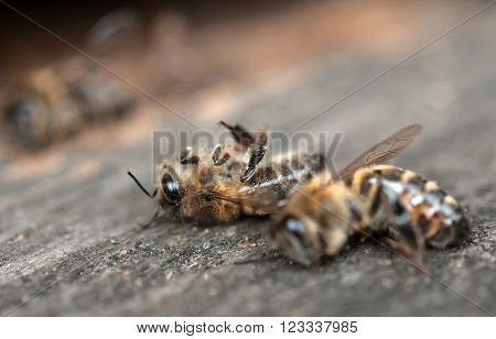 dead bees showing many details of body