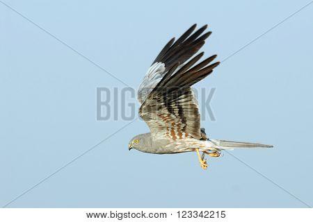 Male Montagu Harrier (Circus pygargus) flying with a prey. Saratov region Russia
