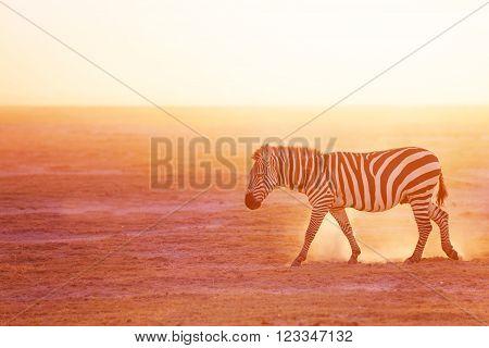 One plains zebra pasturing at savannah of the Amboseli National Park, Africa