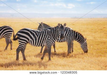 Zebras pasturing at the Kenyan savannah, Maasai Mara National Reserve, Africa