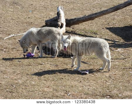 Two gray wolves searching for a morsel of food