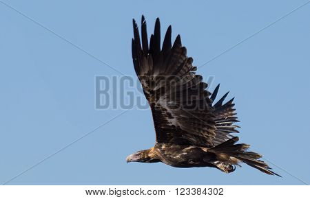 Magestic Australian wedge tailed eagle in flight