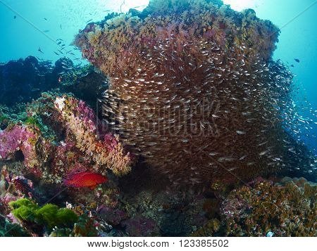 Shoal of Glassfish in blue water Similan Thailand.