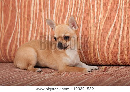 Cinnamon Chihuahua puppy with chewy treat lying on sofa, 4 months old female.