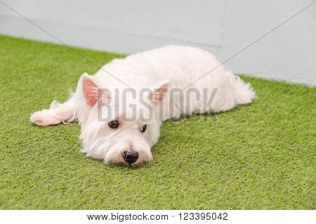 White terrier or westie highland dog sitting on a black chair and smiling