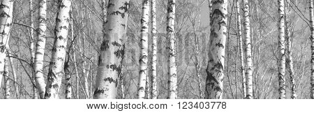Trunks of birch trees, black and white landscape