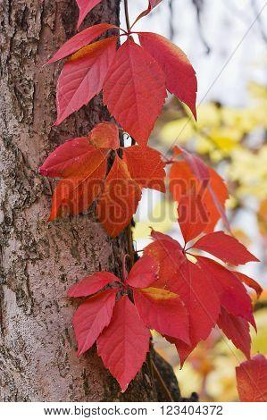 Bright Autumn Foliage Of Vine
