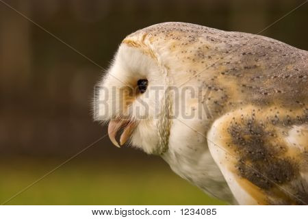 this image of a magnificent barn owl was captured in the uk. poster