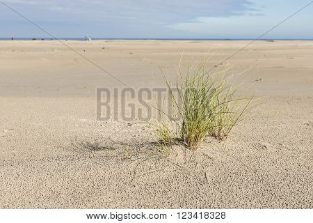 North Sea Beach with a plant marram grass on the island of Terschelling in the Netherlands