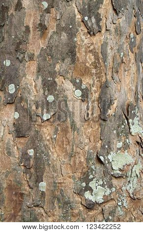 Texture of the bark of a sycamore tree