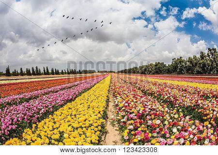Spring flowering buttercups. Over the field flying flock of migratory birds. Flower kibbutz near Gaza Strip