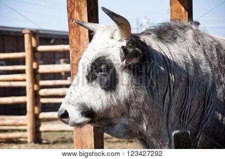 Ukrainian Horned Cattle