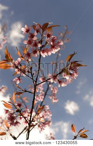 Prunus  cerasoides ,  pink flower for your design