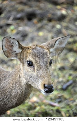 Sika deer, cervus nippon or also known as the Asian Deer.