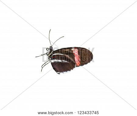 Colorful Doris Longwing butterfly isolated on a white background