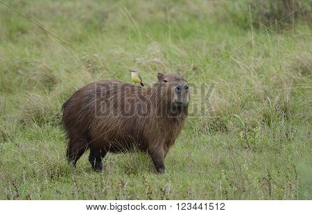The capybara (Hydrochoerus hydrochaeris) seen wild in the Ibera Wetland area of Argentina poster