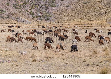 Herd Of Llamas And Alpacas In Andes Mountains,  Peru