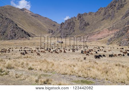 Farm And Herd Of Llamas And Alpacas In Andes Mountains,  Peru