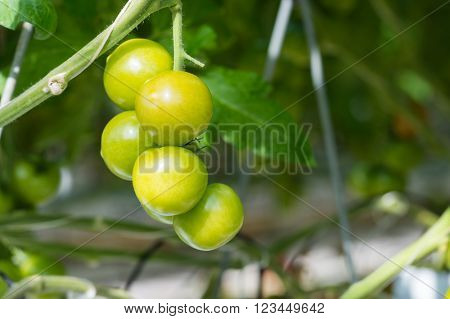 Bunch of ripening tomatoes hanging on a thick stalk in a large specialized Dutch tomato nursery. The tomato plants are grown in a greenhouse on substrate and with liquid food. ** Note: Shallow depth of field