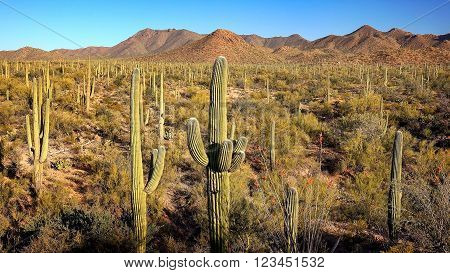 Landscape of Saguaro Cactus at Saguaro National Park in Arizona