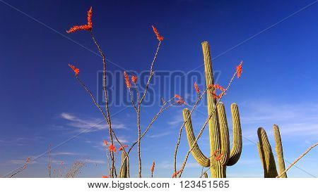 Saguaro Cactus and Ocotillo with colorful blooms in Saguaro National Park