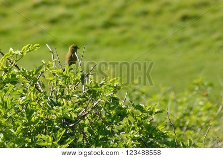 Greenfinch (Chloris chloris) perched on bush. Small passerine bird in the finch family (Fringillidae) sitting on top of an elder bush in the English countryside